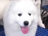 纯种萨摩耶,犬舍繁殖,微笑天使,高端伴侣犬疫苗齐全