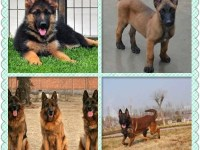 犬舍直销各种宠物犬 护卫犬 猎犬等诚信认证 重大疾病包退换