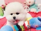 纯种活泼可爱哈多利版最小球体博美出售,欢迎来挑选