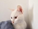 纯白波斯猫,鸳鸯眼