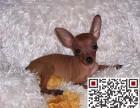 哪里有卖小鹿犬小鹿犬多少钱