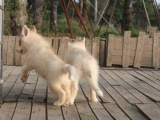 狗市可以买到纯种哈士奇吗 多少钱一只