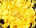金丝皇菊价格一斤或者一盒多少钱