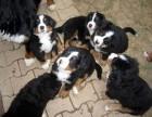 出售伯恩山 边牧幼犬 疫苗已做 价格合适 包纯