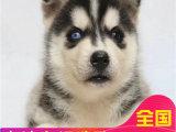 出售纯种哈士奇雪橇犬 哈士奇钱 哈士奇价格
