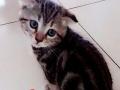 美短虎斑,银渐层幼猫