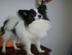 精品漂亮的蝴蝶犬幼犬 花色很对称可爱可活泼聪明