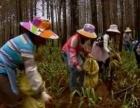 广州中药材种植基地加盟