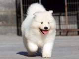 合肥肥东常年出售高品宠物犬幼犬,保健康签协议
