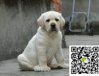 拉布拉多犬聪明吗拉布拉多体味怎样拉布拉多掉毛么