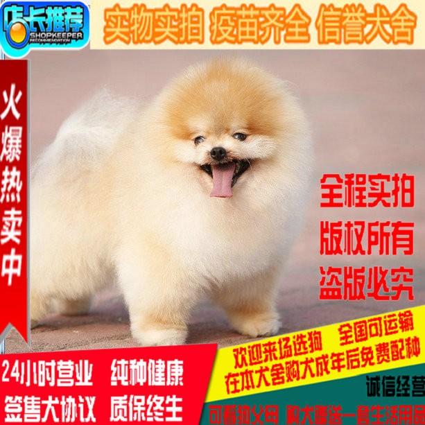 韩系 哈多利球体博美,俊介 小体大眼睛 送狗狗户口