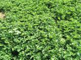 内蒙古法兰帝草莓苗生产厂家 甜宝草莓苗 量大可送货上门