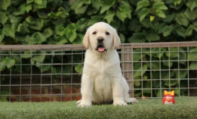 赛级拉布拉多犬 温顺的导盲犬 想把它带回家吗