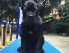 广元什么地方有狗场卖卡斯罗猛犬/哪里有卖卡斯罗猛犬