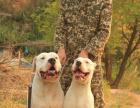 哪里有纯种杜高狗狗卖 顶级杜高幼犬三个月 猎犬之王