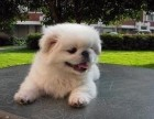株洲哪有京巴犬卖 株洲京巴犬价格 株洲京巴犬多少钱