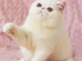 重庆九龙坡纯血加菲猫幼崽猫舍特惠