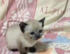 泰国暹罗猫宝宝接受预订六百元一只