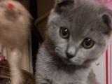 家养精品蓝猫一窝
