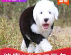 本地出售纯种古牧幼犬,十年信誉有保障