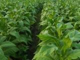 优质烟草种植地膜价格-贵阳烟草地膜