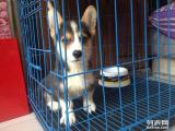 出售活体纯种赛级三色柯基犬幼犬迷你小体小短腿威尔士宠物狗狗