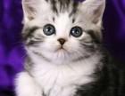 潍坊哪里有美短猫虎斑加白卖纯血统萌翻你的眼球 品质保障