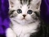 银川 哪里有美短猫虎斑加白卖纯血统萌翻你的眼球 品质保障