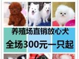 狗场专业繁各类犬泰迪哈士奇 金毛高加索 萨摩 秋田 吉娃等
