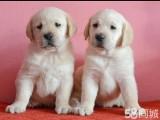 惠州哪有拉布拉多犬卖 惠州拉布拉多犬价格 拉布拉多犬多少钱