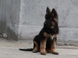 cku注册五星级犬舍 双血统牧羊犬可上门挑选