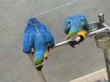 出售金剛鸚鵡 葵花鸚鵡 灰鸚鵡 亞馬遜鸚鵡 折衷 凱克鸚鵡