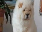哪里有松狮犬出售 松狮犬多少钱一只 在哪里