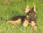 4个月的德牧低价出售 德国牧羊犬价格