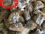 刺猬皮  仙人衣 偷瓜罐皮 毛刺皮 刺血儿 猬鼠 动物原药材