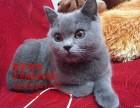佛山哪里有卖纯种蓝猫价格多少包子脸蓝猫已做疫苗包健康包纯种