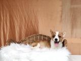 柯基幼犬 保证纯种健康 签订活体协议 包退换