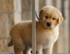 重庆哪里出售金毛犬 重庆金毛多少钱