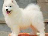 重庆萨摩耶犬多少钱 重庆哪里出售萨摩耶犬