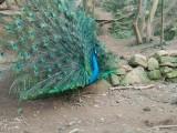重庆孔雀苗,重庆种孔雀,重庆观赏孔雀 商品孔雀 孔雀蛋