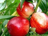 出售中油四号桃苗 出售大棚专用中油四号桃苗 出售桃树