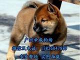 佛山市大良哪里有狗买 顺德区哪里有卖日本柴犬