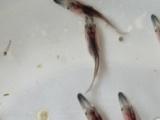 金星水产鱼苗场供应优质贵港黑鱼苗生鱼苗批发