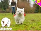 精品纯种西高地白梗幼犬 包健康签协议可担保交易