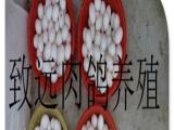 白玉王肉鸽种鸽,青年鸽,商品鸽子蛋