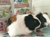 宠物兔荷兰纯种垂耳兔荷兰猪