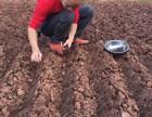四川白芨种子种苗热卖中
