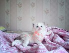 上海哪里有正规宠物店买卖布偶猫 上海较便宜布偶猫多少钱