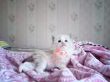 哈尔滨哪里有卖布偶猫 哈尔滨纯种布偶猫一只多少钱