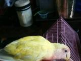 手养鸟转让,自家手养黄桃、牡丹各一只。